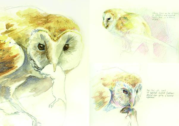 'Barn Owl Sketches'