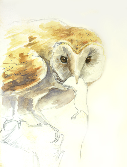 'Barn Owl Sketches'