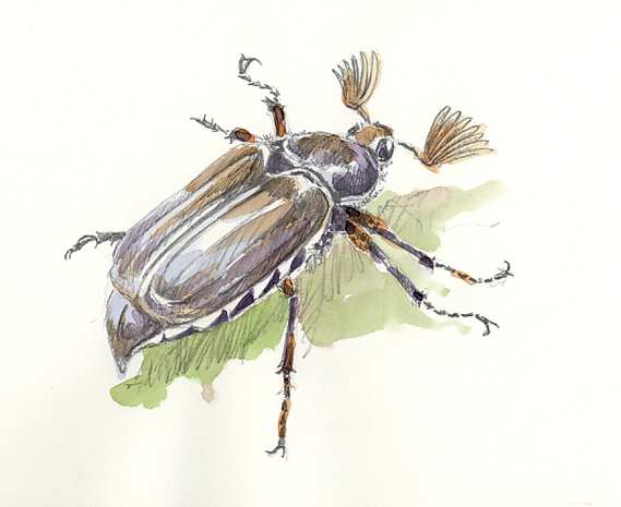 Watercolour sketch of a May Bug