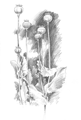 Pencil sketch of Poppy Seed Heads