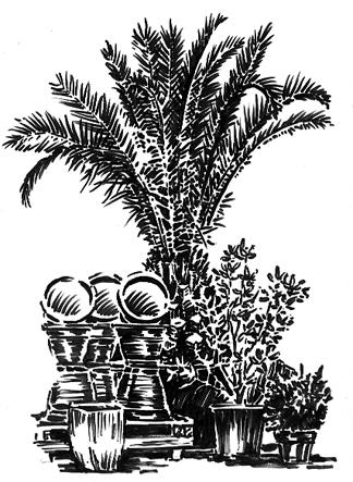 Pen sketch of Tree Ferns & Pots