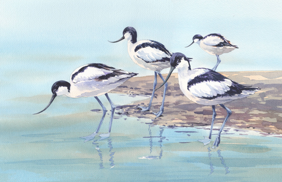 Watercolour painting of Avocets wading on the waters edge.
