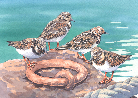 Watercolour painting of Turnstones standing on a quayside.