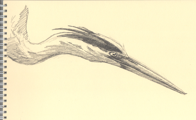 Heron pencil sketch