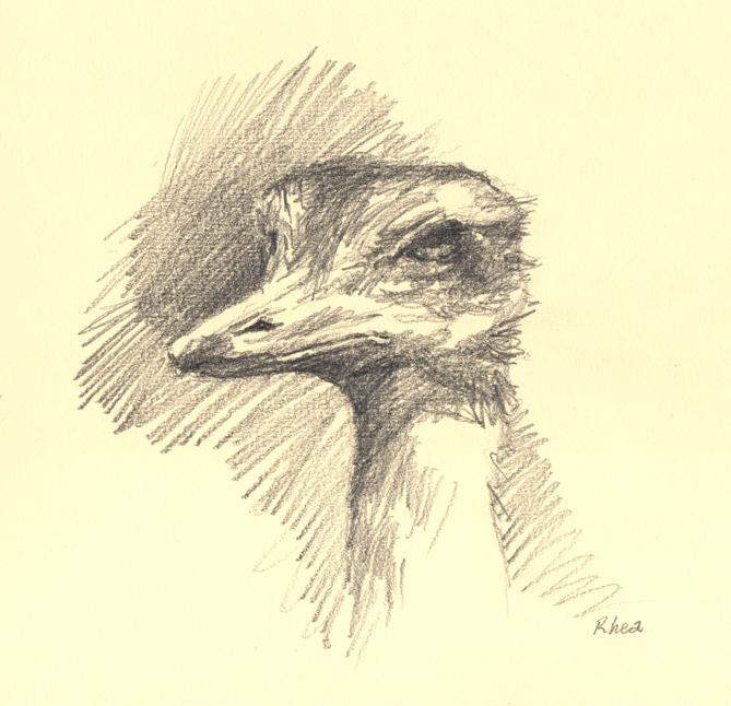 Pencil sketch of a Rhea.