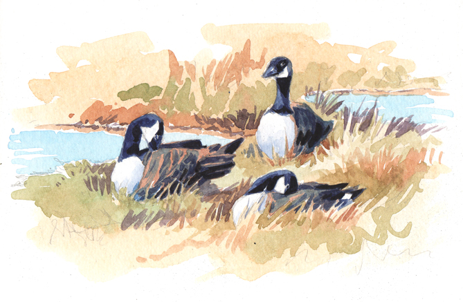 Watercolour sketch of Canada Geese sitting ion a grassy bank.