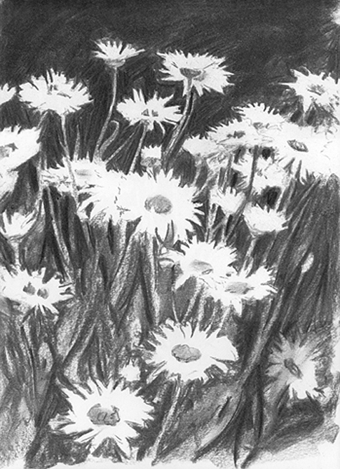 Charcoal sketch of a group of Oxeye Daisy's