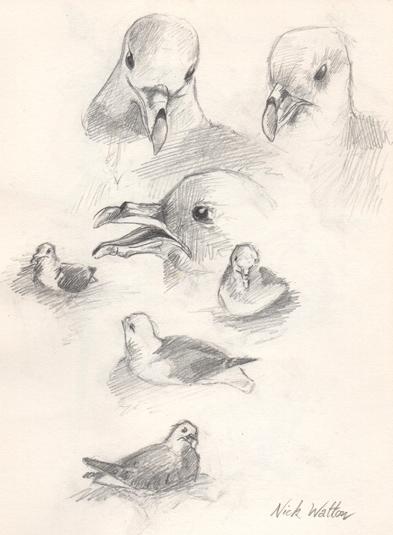 Pencil sketch of nesting Fulmars