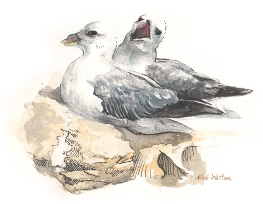 Watercolour sketch of two Fulmar's nesting.