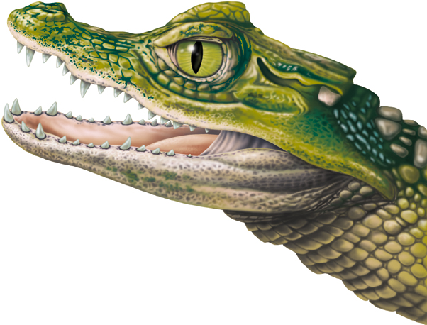 The head of a Caiman